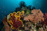 Fan corals in the reef. Misool, Raja Ampat, West Papua, Indonesia,  January 2010