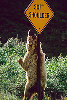 Grizzly bear scratches back and shoulders on a road sign in Denali National Park, Alaska