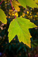 Leaf from a Red Maple (Acer rubrum, also known as Swamp or Soft Maple) tree which is beginning to turn yellow in color in autumn.