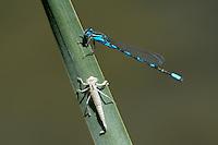 320310006 a wild male tule bluet enallagma carunculatum perches on a reed along piru creek at frechnman's flat camground area los angeles county california