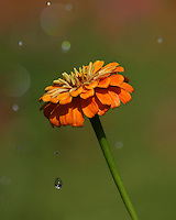 Single zinnia during a sudden summer shower.