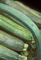 Zucchinis picked and in basket, variety 'Defender' marrow squash courgette, green squashes