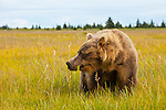 A coastal brown bear approaches the photographer.  This photo was taken with a zoom lens at 125mm, in Lake Clark National Park, Alaska.  Photo by Gus Curtis.