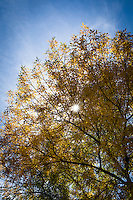 A tree boasting autumn gold filters the sun which shines through with a sunburst.