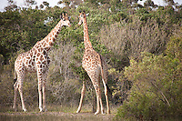 Giraffes at the Seaview Lion Park, (Thursday 9th July 2009), Eastern Cape, South Africa ,   Photo: joliphotos.com