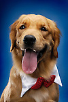 Portrait of Golden Retriever wearing a bow looking at the camera. Isolated on blue background. China - Gray Valley Kennels - Toronto.