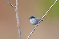 536360001 a wild male california gnatcatcher polioptila californica a federally threatened species perches on a dead twig in open space protected habitat los angeles county california