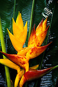 Two heliconias (Heliconia champneiana): cv. Honduras on the left, cv. Splash on the right, against glossy green foliage