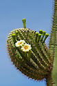 Saguaro cactus in bloom.