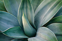Agave attenuata 'Nova'