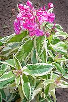 Phlox paniculata 'Elisabeth' variegated foliage elizabeth