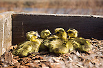 Newly-hatched Canada goose chicks in a nest boxk. Deer Flat National Wildlife Refuge goose nest survey, Snake River
