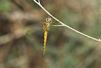 343000005 a wild male wandering glider pantala flavescens perches on a dead stick in yuma county arizona