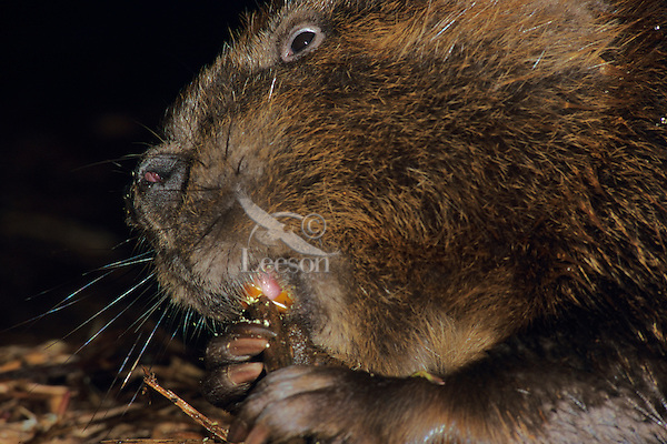 Beaver (Castor canadensis) chewing on wood.