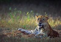 Leopard at Kanjuran Villu, Wilpattu National Park.