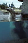Polar bear standing in small pool behind glass at the Point Defiance Zoo Tacoma Washington State USA