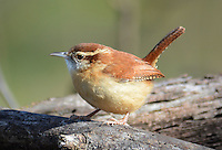 Courtesy photo/TERRY STANFILL<br /> A Carolina wren rests on timber along the Eagle Watch Nature Trail near Gentry. Terry Stanfill of the Decatur area took the picture Nov. 19.