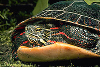 1R13-007b  Painted Turtle - in shell - Chrysemys picta