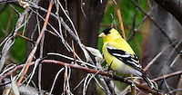 Bird photograph of an Bright yellow American Goldfinch perching on branches.<br />