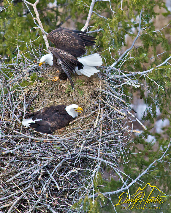 Eagles Nest, nesting Bald Eagles, squawking, high above the Snake River, Idaho