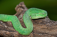 489590012 a captive bluish-green coloration west african bush viper atheris chlorechis sits coiled on a limb