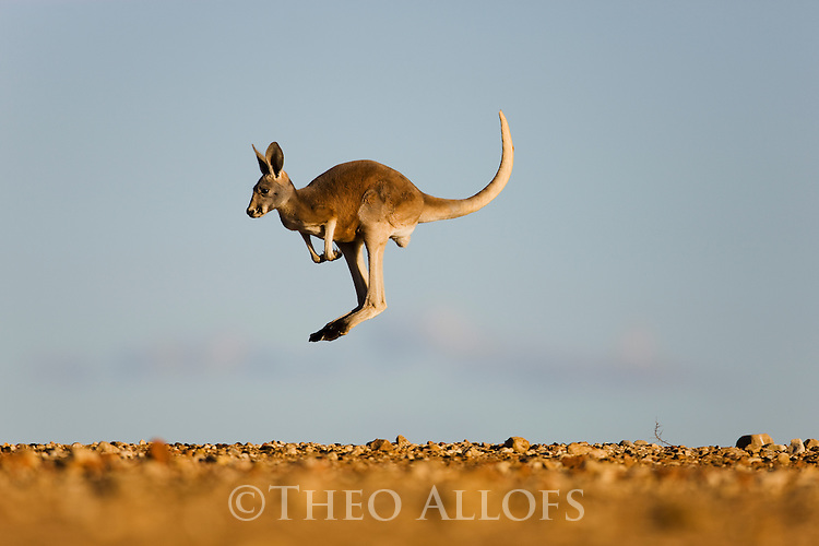 Australia,  NSW, Sturt National Park; male red kangaroo joey jumping for fun (Macropus rufus); the red kangaroo population increased dramatically after the recent rains in the previous 3 years following 8 years of drought