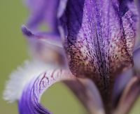 Iris suaveolens,  The Ignoussa mountains, Lake Kerkini, Macedonia, Greece