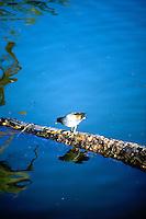 BIRDS<br /> Purple Gallinule<br /> Phoenix, AZ