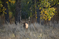 Bull elk during the autumn rut in Montana