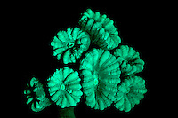 An image of Caulastrea Curata coral in long wave UV light.  This species of coral will glow brightly when illuminated in ultra-violet(UV) light.  It is thought the glow may attract symbiotic algae, or protect the coral from the intense ultraviolet light of the Sun in shallow water. This image is part of a series showing the identical specimen in white light and UV light.