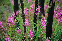 Fireweed grows following a recent forest fire, Arctic circle, Alaska