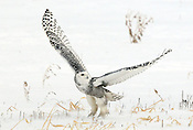 A Snowy Owl takes flight from a snow-covered field in southeastern Wisconsin.