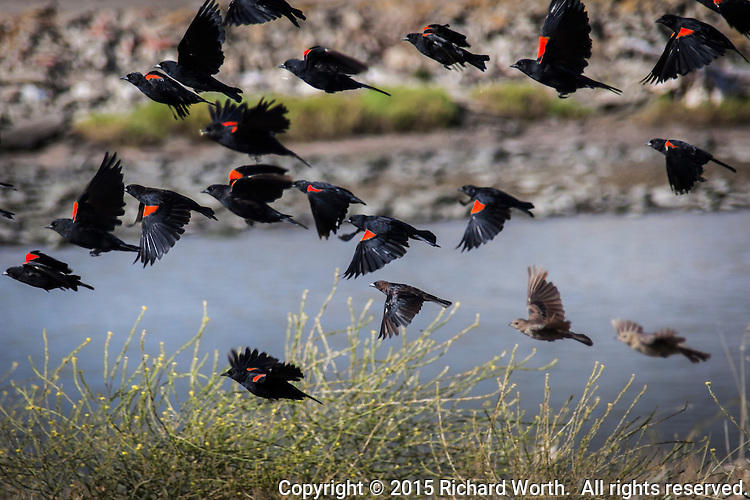 "A cluster of Red-winged blackbirds takes flight along San Francisco Bay.  Other collective nouns include a ""cloud"" and ""merl"" of blackbirds."