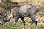 Wild Boar, Sus scrofa, Bandhavgarh National Park, forest pig, female.India....