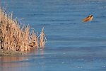Rooster pheasants and cattail reeds at the edge of a frozen pond