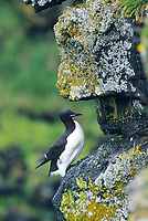 Thick-billed murre on the cliffs of St. Paul Island, Pribilof Islands, Alaska.