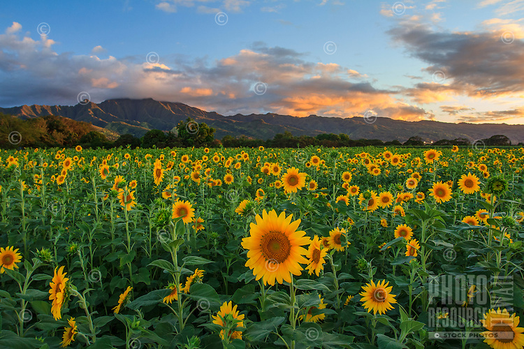 A field of beautiful blooming sunflowers with Mt. Ka'ala in the background, Haleiwa, O'ahu.