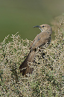 581970026 a wild lecontes thrasher toxostoma lecontei perches in a chapparal plant near maricopa in kern county california