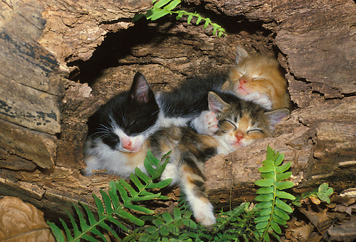 Litter of very adorable kittens sleeping in log, Missouri, USA