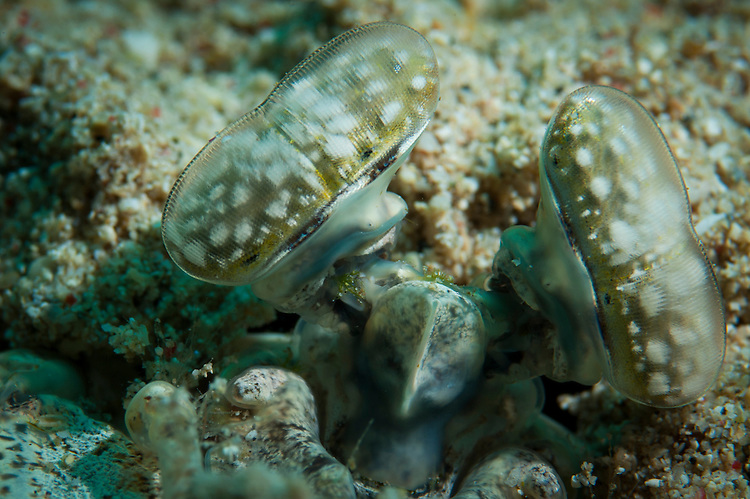 The white spotted eyes of the Tiger mantis shrimp, (aka. giant mantis shrimp), Lysiosquilla maculata, peering from burrow. This species is a spearer.  Bunaken National Park, Sulawesi, Indonesia