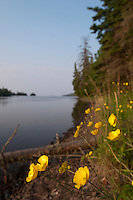 Wildflowers along Duncan Bay on Lake Superior at Isle Royale National Park.