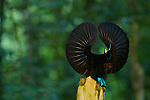 Victoria's Riflebird (Ptiloris victoriae) Bird of Paradise..Male on display perch trying to lure a female down to his perch with a spread wings display.