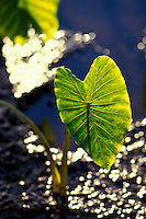 Young kalo (taro) growing in a loi or taro pond, on the island of Oahu. Kalo is the staple food of the Hawaiian people.