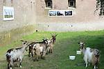 Foto: VidiPhoto<br /> <br /> DOORNENBURG - Geiten in plaatsen van grasmaaiers. Wat begon als een gei(n)tje, blijkt een serieuze besparing. De gracht van Fort Pannerden in het Gelderse Doornenburg, onderdeel van de Hollandse Waterlinie, wordt sinds enkele weken kort gehouden door een zestal landgeiten. Een flinke financi&euml;le besparing zo blijkt nu. En daarom wil het bestuur van Fort Pannerden de landgeiten ook op het fort laten grazen, wat jaarlijks een besparing van 7000 euro oplevert. Alleen eigenaar Staatsbesbeheer ligt dwars omdat er drie plantjes groeien die op de rode lijst staan. Hoewel die ook in het 15 ha. grote natuurgebied rond het verdedigingswerk aanwezig zijn, geeft de overheidsorganisatie vooralsnog geen graasvergunning, tot frustratie van de fortbeheerders. Maaien op het fort is namelijk een gevaarlijke klus en kan alleen door een professioneel bedrijf met allerlei veiligheidsmaatregelen uitgevoerd worden. De zeldzame geiten heeft het fort in bruikleen van de landelijke fokkersvereniging voor landgeiten. Aardige bijkomstigheid voor het fort is dat de geiten ook extra publiek trekken. Fort Pannerden kwam enkele jaren geleden in het nieuws doordat er zich krakers vestigden, die na een belegering door de ME werden verwijderd.