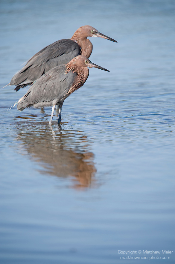 Ding Darling National Wildlife Refuge, Sanibel Island, Florida; two Reddish egret (Egretta rufescens) birds, standing in the shallow water, foraging for food © Matthew Meier Photography, matthewmeierphoto.com All Rights Reserved