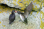 Parakeet Auklets (Aethia psittacula) pair interacting, one with raised wings, on lichen-covered rock on cliff face, St. Paul Island, Pribilofs, Alaska, USA