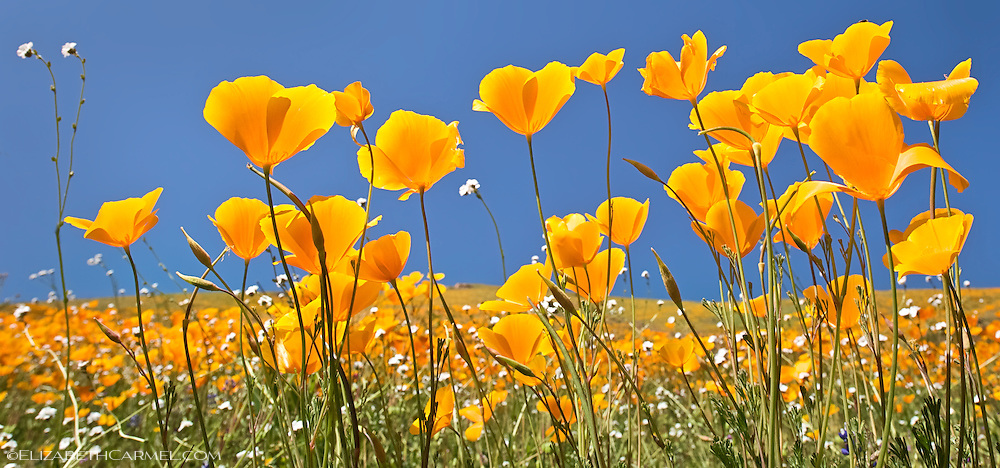 Poppies & Sunshine