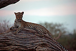 Africa, Botswana, Savute. Leopard of Chobe National Park.