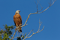 Black-collared hawk (Busarellus nigricollis), perched on a tree limb, Pantanal, Brazil