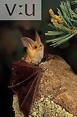 A Pallid Bat. (Antrozous pallidus) Burro Mountains, Southwest New Mexico, USA